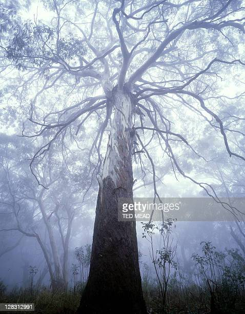 Grey Mountain Gum trees, Mt Kaputar N.P, NSW, Australia