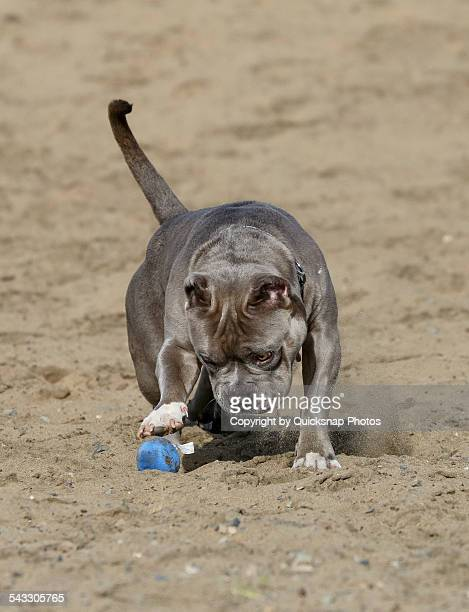 Grey Pitbull dog playing in the sand