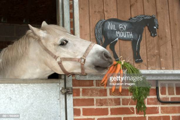 A grey pony eating a bunch of carrots and a chalk board notice stating Nil by Mouth