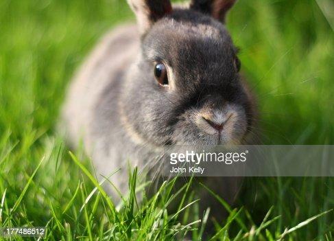 Grey Rabbit at Dusk : Stock Photo