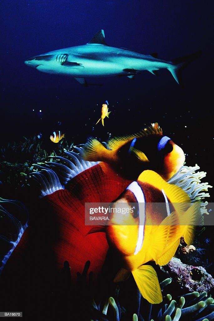 Grey reef shark and anenomefish, underwater view : Stock Photo
