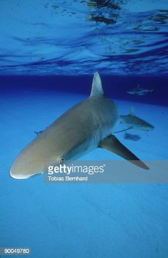 grey reef shark: carcharhinus amblyrhynchos  under surface   beveridge reef