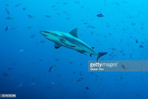 Grey reef sharks, Blue Corner - Palau