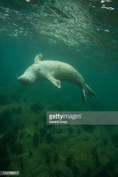 Grey Seal (Halichoerus grypus) 7-iles, Bretagne, France