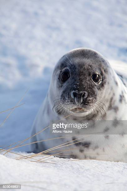 Grey Seal -Halichoerus grypus-, Helgoland Dunes, Schleswig-Holstein, Germany, Europe