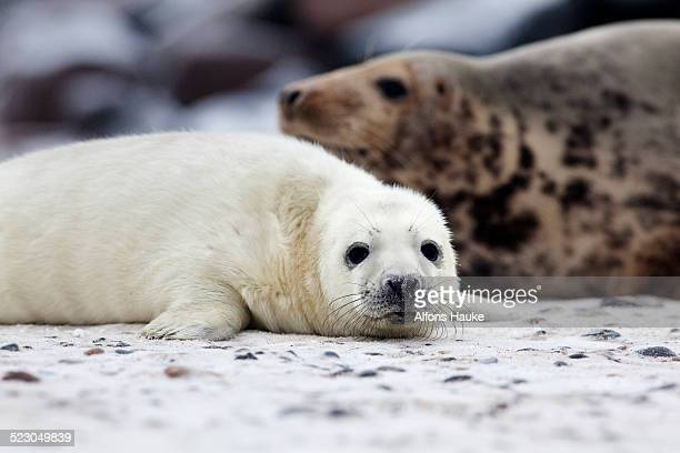 Grey Seal -Halichoerus grypus-, Heligoland Duene, Schleswig-Holstein, Germany, Europe