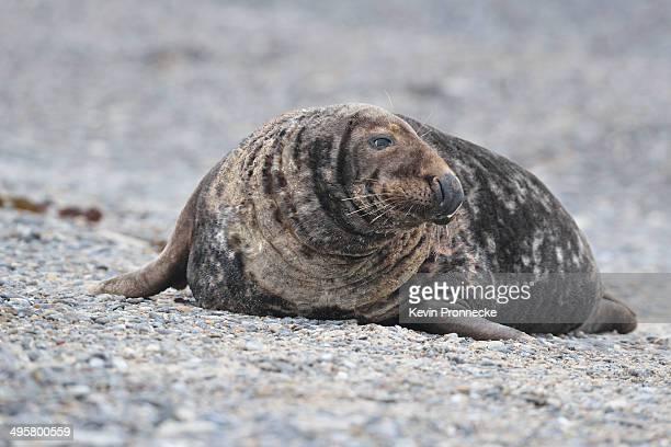Grey Seal -Halichoerus grypus-, male on the beach, Dune island, Helgoland, Schleswig-Holstein, Germany