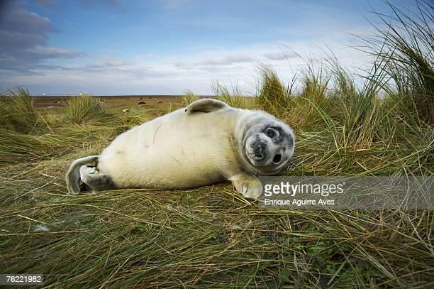 Grey Seal, Halichoerus grypus, pup grassy shore, Donna Nook, Lincolnshire, UK
