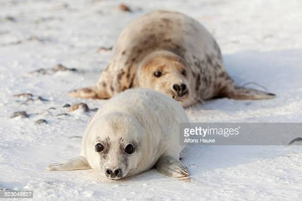 Grey Seal -Halichoerus grypus- with a cub, Helgoland Dunes, Schleswig-Holstein, Germany, Europe
