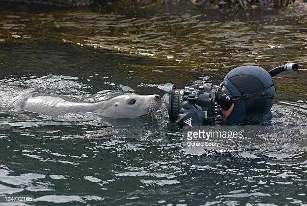 Grey seal (Halichoreus grypus) juvenile playing with diver, Bretagne, France, Atlantic Ocean
