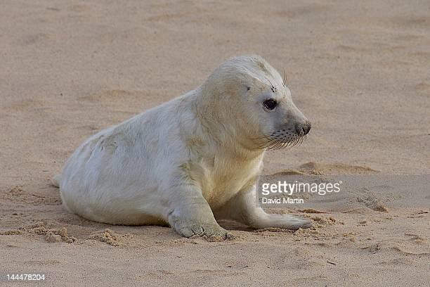 Grey seal on Halichoerus grypus