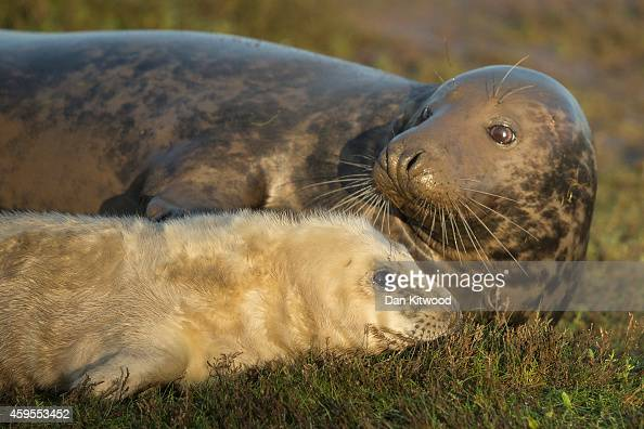 Grey Seal pup and it's mother lay in the grass at the Lincolnshire Wildlife Trust's Donna Nook nature reserve on November 24 2014 in Grimsby England...