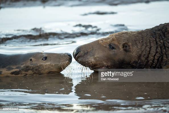 Grey Seal pup and it's mother lay in the mud at the Lincolnshire Wildlife Trust's Donna Nook nature reserve on November 24 2014 in Grimsby England...