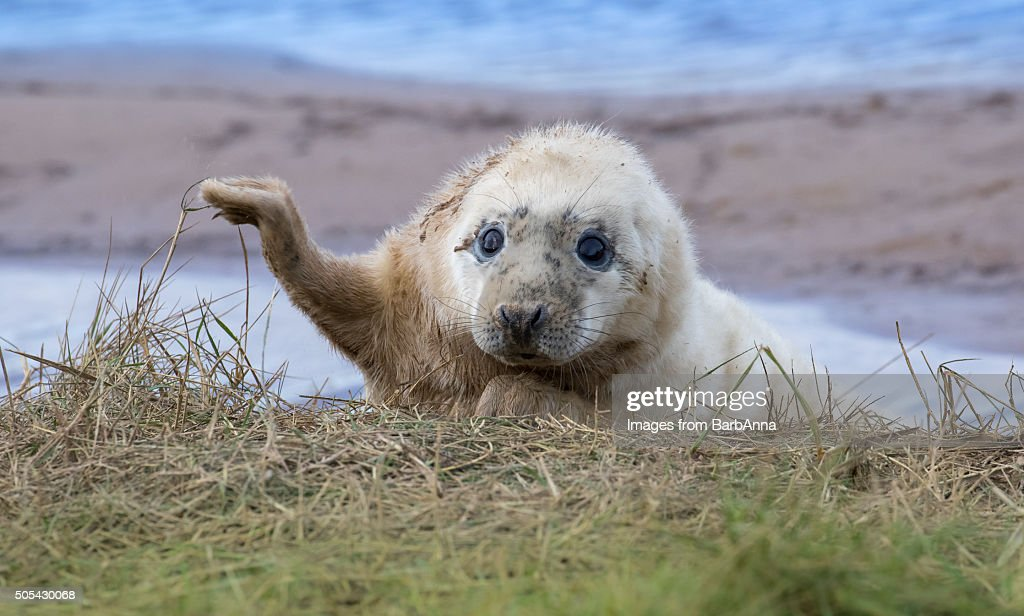 Grey Seal Pup (Halichoerus grypus) at Donna Nook, Lincolnshire, UK