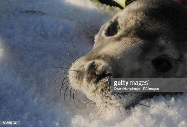 A grey seal pup is rescued by the RSPCA on Whitley bay Beach after being washed up on the beach