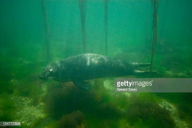 Grey seal (Halichoreus grypus) young female, Bretagne, France, Atlantic Ocean