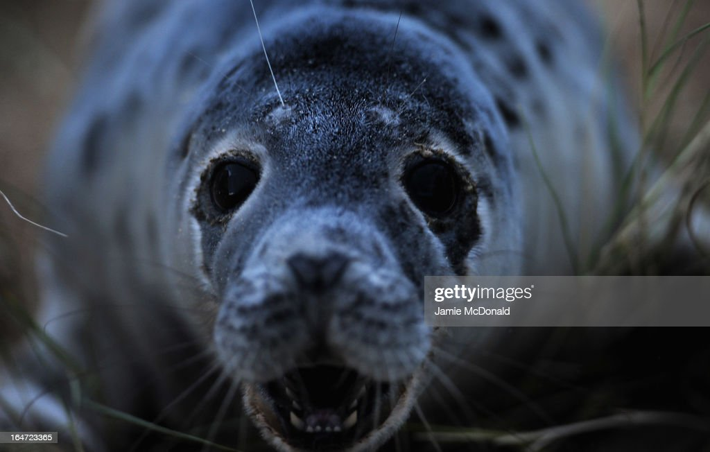 Grey seals come ashore at Blakeney Point, one of the largest expanses of undeveloped coastal habitat in Europe, on March 27, 2013 in Norfolk, England. Blakeney Point is most famous for the large numbers of Grey Seals which congregate out on the tip of the Point.