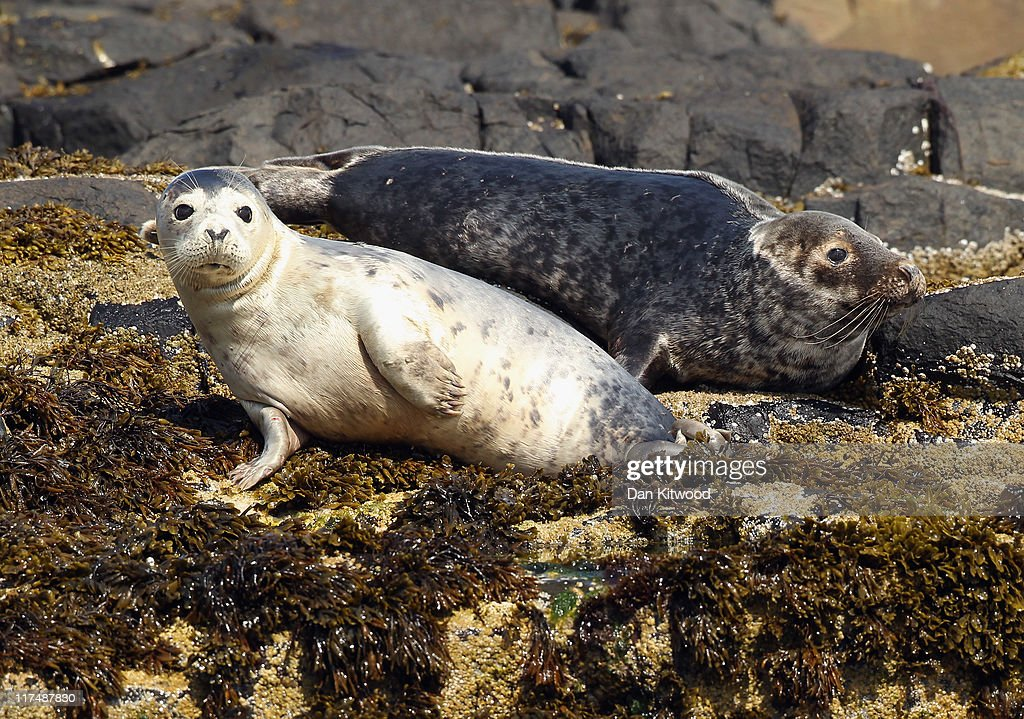 Grey Seals relax on rocks on June 24, 2011 at the Farne Islands, England. The Farne Islands, which are run by the National Trust, are situated two to three miles off the Northumberland coastline. The archipeligo of 16-28 separate islands (depending on the tide) make the summer home to approximately 100,000 pairs of breeding seabirds including around 36,000 Puffins, 32,000 Guillemots and 2,000 pairs of Arctic Terns. The species of birds which nest in internationally important numbers include Shag, Sandwich Tern and Arctic Tern. The coastline around The Farnes are also the breeding ground to one of Europe's largest Grey Seal colonies with around 4,000 adults giving birth to 1500 pups every year.