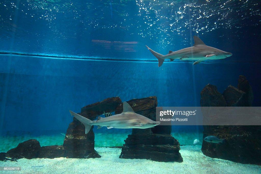Grey Sharks in an aquarium