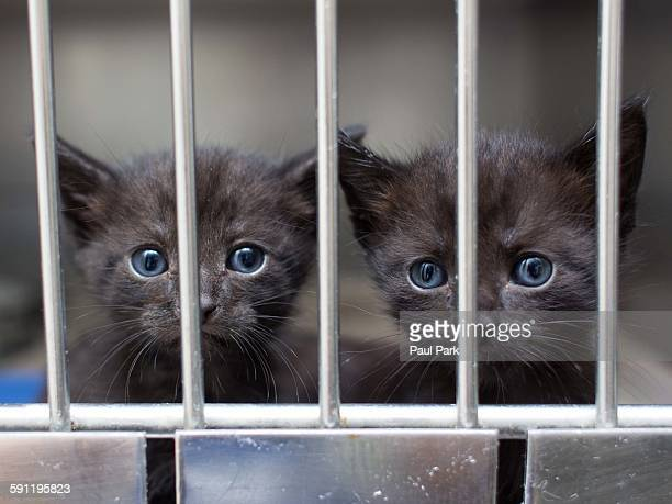 Grey shelter kittens behind gate