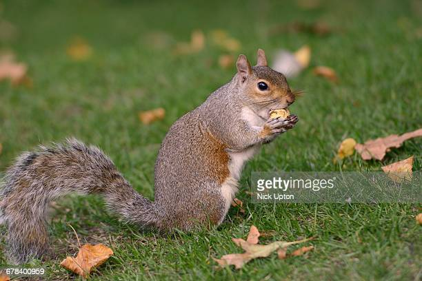 Grey squirrel (Sciurus carolinensis) biting into a peach stone left by a tourist on a lawn in St. Jamess Park, London, England, United Kingdom, Europe