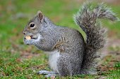 side view of a grey squirrel eating a nut