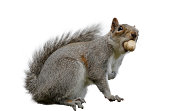 'Eastern gray squirrel or grey squirrel (Sciurus carolinensis) caught with a peanut in its mouth. Isolated on white. Native to United States of America it has been introduced to Britain, where it is c