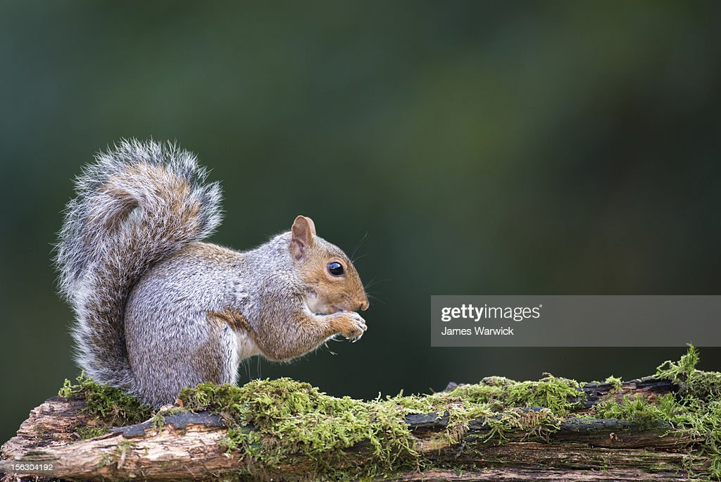 Grey squirrel on moss-covered log : Stock Photo