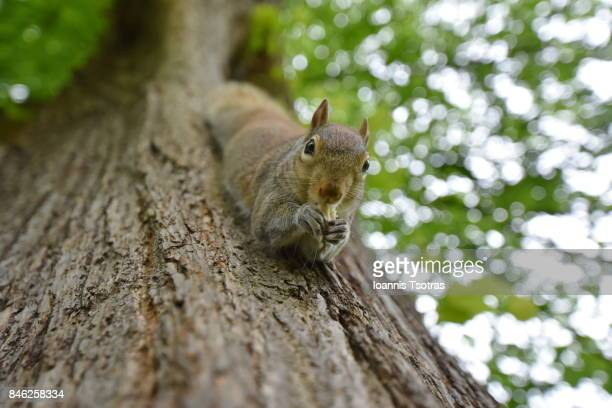 Grey Squirrel on tree eating nuts