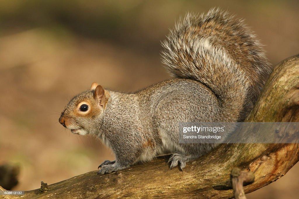Grey Squirrel (Sciurus carolinensis) : Stock Photo