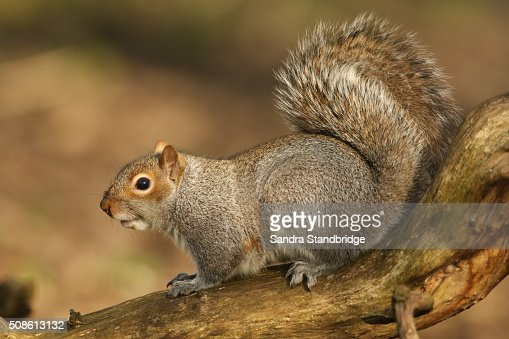 Grey Squirrel (Sciurus carolinensis) : Stock Photo