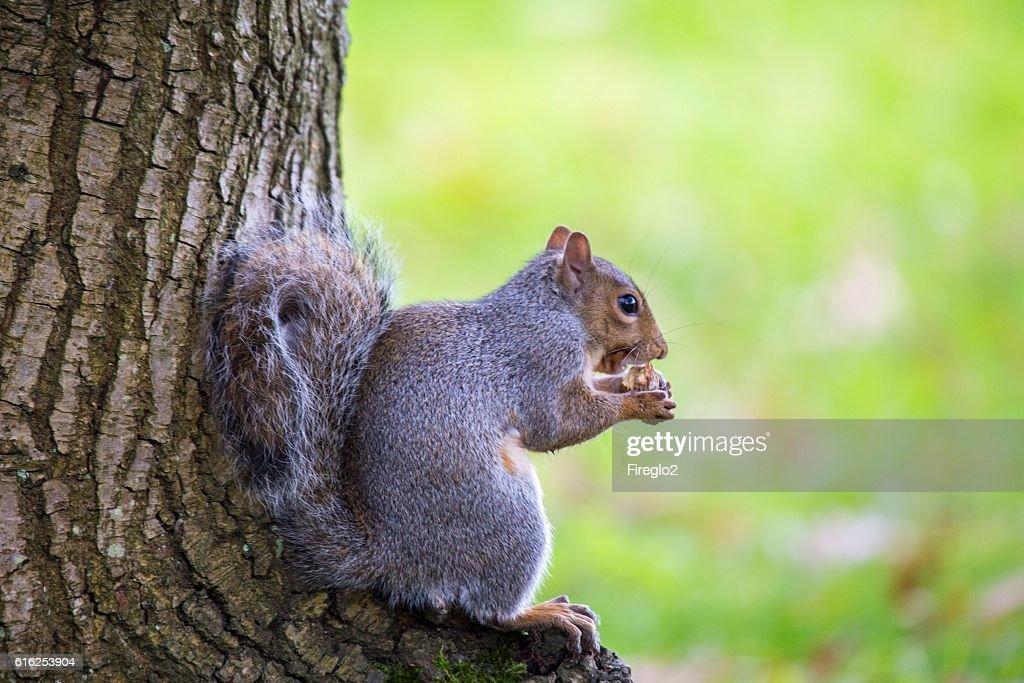 Esquilo cinzento (Sciurus carolinensis) : Foto de stock
