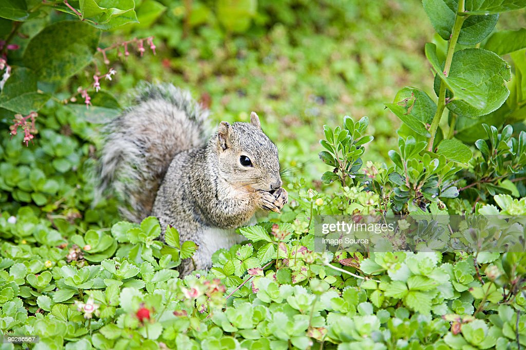 Grey squirrel : Stock Photo