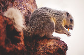 Lovely grey squirrel on tree during warm spring sunset,eating on tree,very surprised,relaxing, amazing in Thailand.