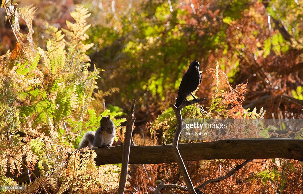 A grey squirrel, Sciurus carolinensis, and a Western jackdaw in autumn. : Stock Photo