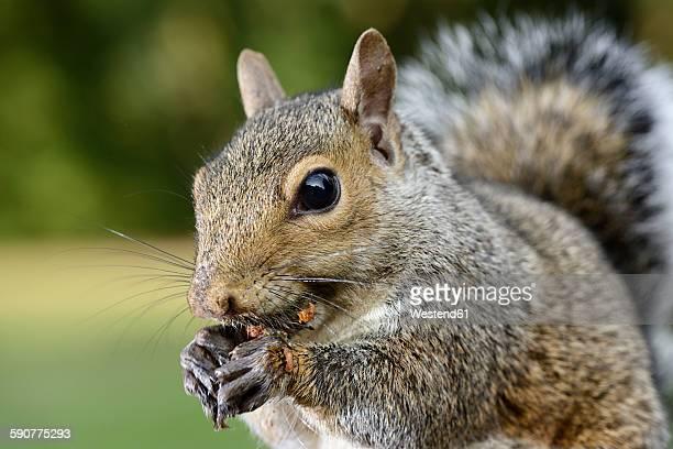 Grey squirrel, Sciurus carolinensis, eating
