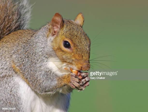 Grey Squirrel [Sciurus carolinensis]