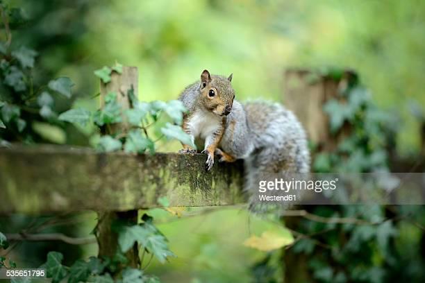Grey squirrel, Sciurus carolinensis, sitting on wooden slat