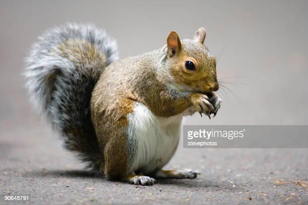 Graue Eichhörnchen-Sehr hohe Auflösung