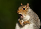 Grey squirrel yawning