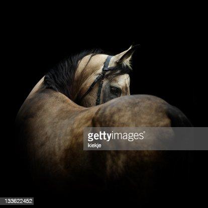 Grey stallion on black