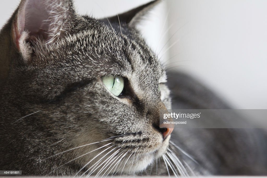 Grey Stripy Domestic Tabby Cat Lying on Table Living Room : Stock Photo