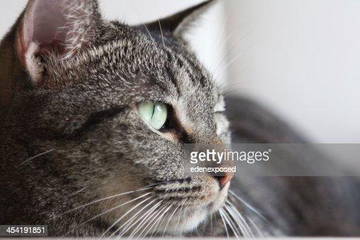 Grigio a strisce Gatto domestico Gatto soriano Sdraiato su un tavolo soggiorno : Foto stock