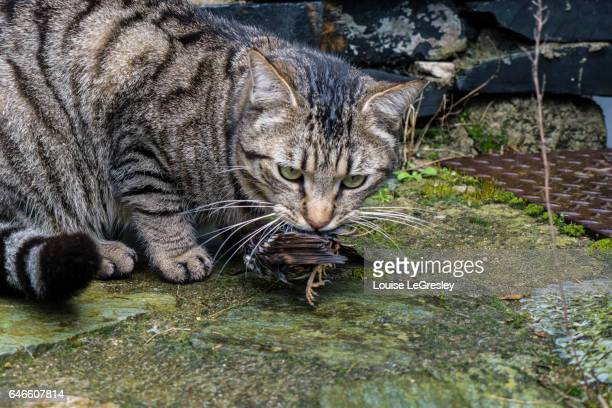 Grey tabby cat playing with a sparrow it has just killed