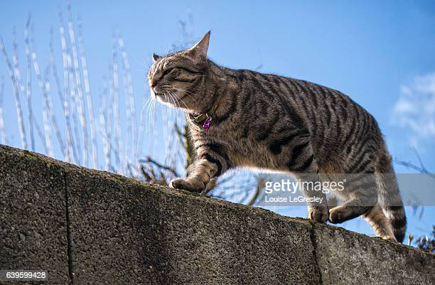 Grey tabby walking on a stone wall