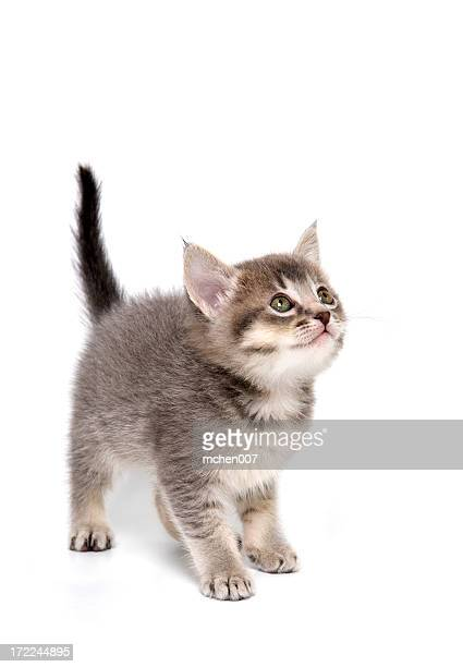 Grey tiger kitten on a white surface looking up