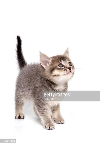 Tiere: Isolierte Katzenjunges