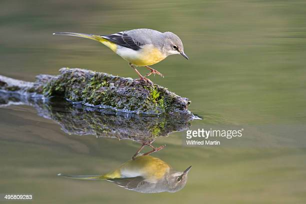 Grey wagtail stock photos and pictures getty images