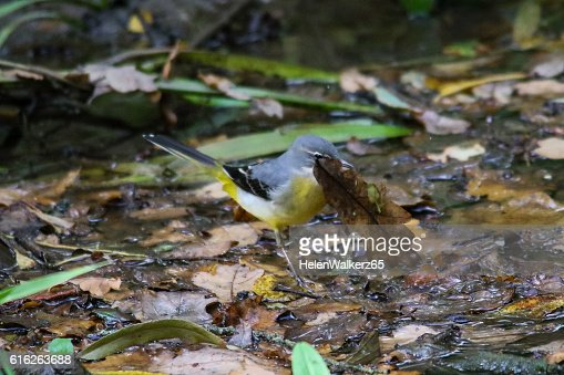 Grey Wagtail with a leaf : Stock Photo