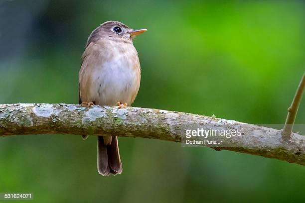 Grey warbler finch (Certhidea fusca)